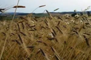 Schwarzer Emmer Feld