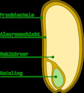 Getreide Getreidekorn Aufbau Bestandteile